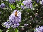 BeeCeanothus.jpg