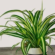 spiderplantman