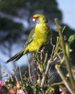 Wikipedia - Aust Birds Green Rosella 800px-Platycercus_caledonicus_-Tamar_Island,_Tasmania_-gr...jpg