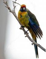 Aust Birds Green Rosella 800px-Platycercus_caledonicus_-Tasmania_-female-8.jpg