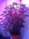 BPU = Black Berry Kush -x- Purple Citral --x- Uzbekistan Hash Plant--.jpg