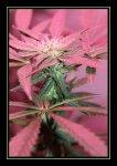 pinktone.jpg