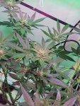 weed plant.jpg