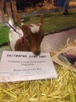 goats at soap.jpg